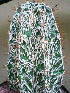 Astrophytum ornatum cv. Hannya