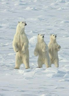 This sow and yearling cubs stand to see and ward off an approaching male bear in Manitoba by Lois Settlemeyer