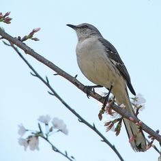 mockingbird | Northern Mockingbird (Mimus polyglottos)