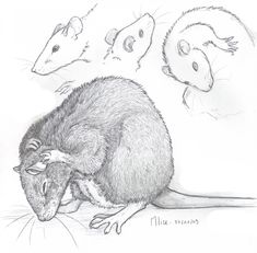Rat by x-Mlice on DeviantArt Animal Sketches, Animal Drawings, Art Drawings, Animals And Pets, Cute Animals, Fancy Rat, Cute Rats, Dibujos Cute, Animal Heads