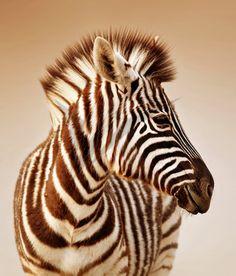 Photographic Print: Close-Up Portrait of a Baby Zebra; Equus Burchell… Photographic Print: Close-Up Portrait of a Baby Zebra; Equus Burchell's by Johan Swanepoel : Close Up Portraits, Baby Portraits, Wildlife Photography, Animal Photography, Amazing Photography, Tableau Pop Art, Geometric Wallpaper Murals, Elephant Parade, Baby Zebra