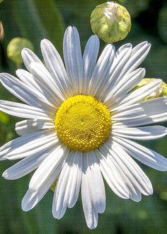 Daisy by Cathy Kovarik