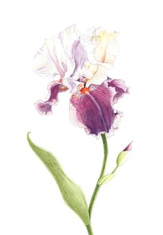 Iris 2012, limited edition digital print on watercolour paper, 59 x 41 cm, ZAR 750 + postage