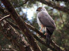 Accipiter bicolor / Bicoloured Hawk by Oscar Mora on 500px