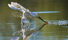 Arizona Highways: 2016 FINALIST - A snowy egret dives for a morning meal at a Gilbert riparian preserve. Photo by: Yasmina Parker