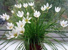 ЧЕМ ПОДКОРМИТЬ КОМНАТНЫЕ ЦВЕТЫСекрет роскошного комнатного цветника прост: растения нужно хорошо подкармливать, иначе не дождаться ни пышной листвы, ни хорошего цветения. Жесткая диета, когда растени…
