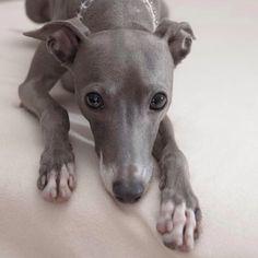 italiangreyhound uni