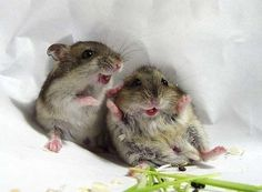 These two hamsters.