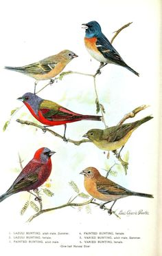 Buntings - of these, only the middle row, the Painted Bunting, are found in Oklahoma