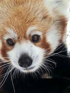 Beautiful Red Panda. #redpanda