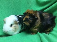 Boo, female guinea pig, available for Adoption in Minnesota