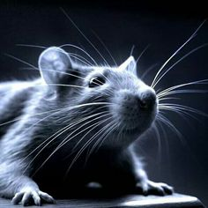 I love black and white photos of rats