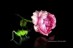 rose and grasshopper in reflections Amazing Photography, Art Photography, Landscape Photographers, Some Pictures, Great Photos, Roses, The Incredibles, Nature, People