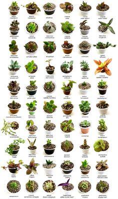 El nombre de muchas de las plantas suculentas más frecuentes en jardinería.