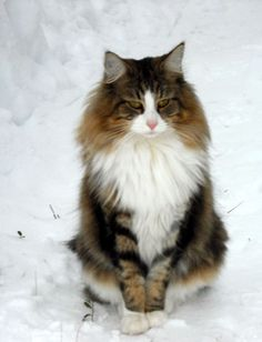 Cats And Dogs Living Together Pretty Cats, Beautiful Cats, Animals Beautiful, Cats Musical, Fancy Cats, Siberian Cat, Norwegian Forest Cat, Maine Coon Cats, White Cats