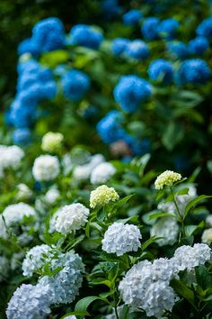 blue hydrangea, love these! And mine are coming back this year!!!!