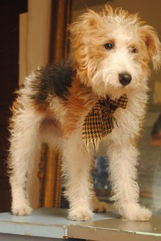 Wire Hair Fox Terrier... BEST doggie ever.. personality personified!