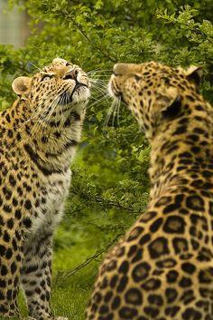 Beautiful Big Cats - Lookin' At ???
