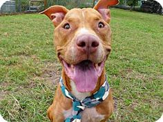 Tavares, FL - American Pit Bull Terrier. Meet SCOOBY, a dog for adoption. http://www.adoptapet.com/pet/16806747-tavares-florida-american-pit-bull-terrier