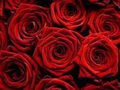 The Red Rose not only carries
