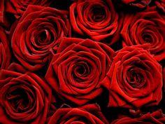 red rose wallpaper - Free Large Images