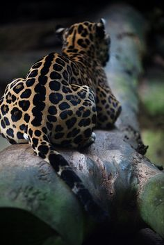 Leopard - #etologiarelazionale - The ethology of emotions and empathy