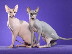 """Aw, this links to an article called """"The Five Ugliest Cat Breeds In The World"""" but I think these little sphynx cats are, maybe a little alien, but beautiful."""
