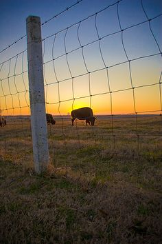 """""""Shelby Farms Sunset,"""" by fotoshane. Bison at Shelby Farms in Memphis, with the silhouette of Clark Tower in the background."""
