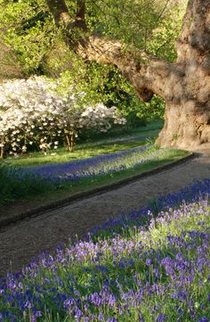 HUGE tree, #cherry #blossom and carpets of #bluebells at #Glendurgan in #spring  #wildflowers #Cornwall
