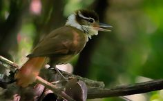 Foto trepador-coleira (Anabazenops fuscus) por Ernani Oliveira | Wiki Aves - A Enciclopédia das Aves do Brasil