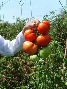 Racimo de tomates de nuestra huerta de Gema.  Super ricos!!!