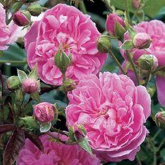 David Austin's geurende thee-rozen..