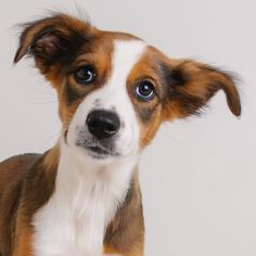 Border-Aussie dog for Adoption in Eden Prairie, MN. ADN-636683 on PuppyFinder.com Gender: Female. Age: Baby