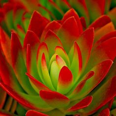 Echeveria ~Fire and Ice (Crassula Red) Succulent Gardening, Cacti And Succulents, Planting Succulents, Planting Flowers, Cool Plants, Air Plants, Garden Plants, House Plants, Echeveria