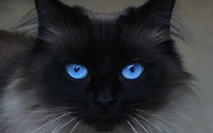 Gorgeous cat with piercing deep blue eyes