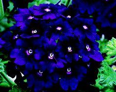 verbena, amazing color!