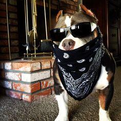 Beastro the american bully badass