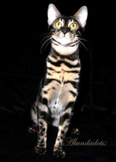 Abundadots – Certified Reputable Breeder | Bengal Cats Bengals Illustrated Directory Egyptian Mau, Bengal Cats, Cat Breeds, Boards, Kitty, Cute, Animals, Cats, Planks