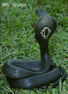 Monocled Cobra, absolutely beautiful. They are found in India.    To be admired from a safe distance.  Coiled and ready to stike.