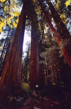 Jedediah Smith Redwoods State Park California.The park is coincidentally home to Endor, the planet of the Ewoks from Return of the Jedi.