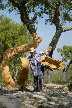 Cork Trees: Soft-Skinned Monarchs of the Mediterranean - via Smithsonian Magazine 28.06.2012 | ...The average specimen of Quercus suber produces about 100 pounds of cork in a stripping, while the very largest tree—named the Whistler Tree, 45 feet tall and a resident of Portugal's Alentejo region—produced a ton of bark at its last harvest in 2009. It was enough for about 100,000 corks—enough to plug up the entire annual sweet wine production of Chateau d'Yquem... #Portugal