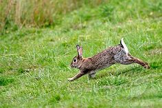 Stock Photo #1566-273240, (Oryctolagus cuniculus) Rabbit. Running.