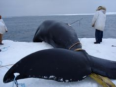 Bowhead whales are harvested by Alaska Natives in the Beaufort, Bering and Chukchi Sea.