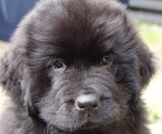 Newfie puppy- tell me that's not the cutest face ever!