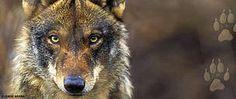 Las ONG conservacionistas exigen a la Junta de Castilla y León que deje de matar lobos