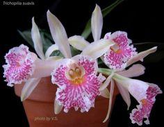 Trichopilia Suavis Orchid | Trichopilia Suavis | Orchids | Pinterest