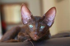 Chocolate Oriental cat. - Pretty Animals, Pretty Cats, Beautiful Cats, Animals Beautiful, Cute Animals, Kittens Cutest, Cats And Kittens, Cute Cats, Chat Oriental