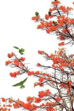 Una bandada de pericos se posaron en las copas de árboles de poró gigantes, los cuales se encuentran en las márgenes del río María Aguilar en Hatillo 8.   RAFAEL PACHECO