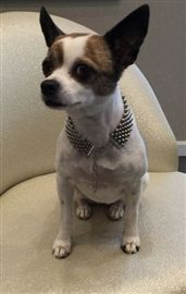 Freshwater pearl dog collar