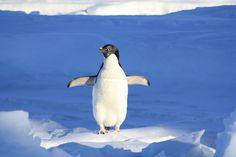 Why penguins feet do not freeze'?